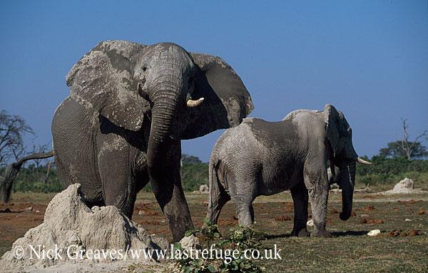African Elephant (Loxodonta africana), bull shaking head, Savuti , Chobe National Park, Botswana