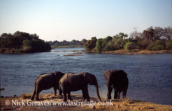 African Elephant (Loxodonta africana), on bank of Zambezi Island, Zambezi National Park, Zimbabwe