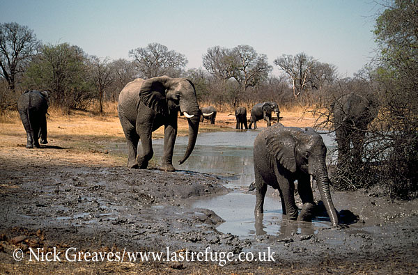 African Elephant (Loxodonta africana), herd at Pan, Hwange National Park, Zimbabwe