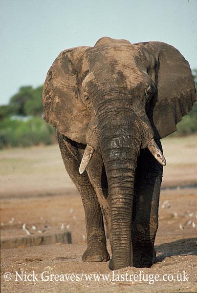 African Elephant (Loxodonta africana), big bull, Hwange National Park, Zimbabwe