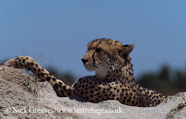 Cheetah, Acinonyx jubatus, Moremi Game Reserve National Park, Botswana