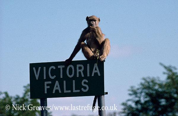 Chacma Baboon, Papio ursinus, Victoria Falls, Zimbabwe