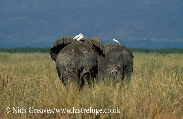 African Elephant (Loxodonta africana), bulls and egrets, Murchison Falls National Park, Uganda