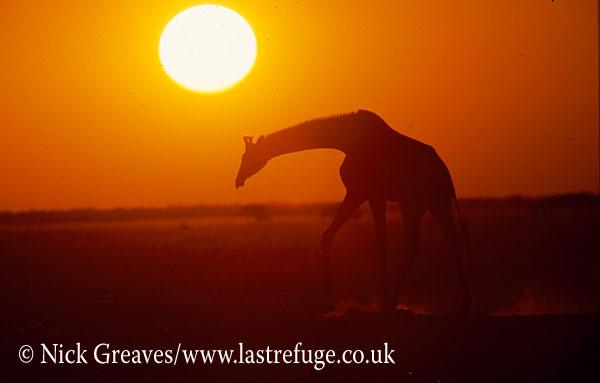 Giraffe sunset, Giraffa camelopardalis, Nxai Pan Game Reserve, Botswana