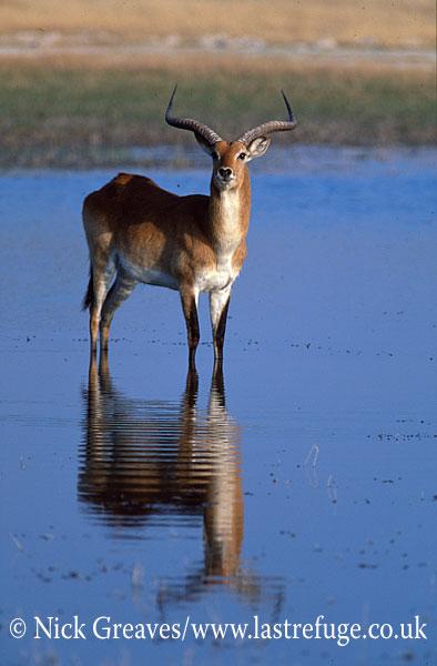 Red lechwe, Kobus leche, Moremi Game Reserve National Park, Botswana