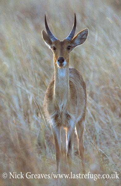 Reedbuck, Redunca arundinum, Moremi Game Reserve National Park, Botswana