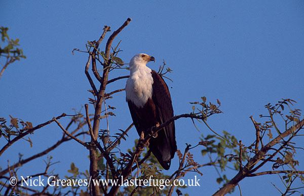 Fish Eagle, Haliaeetus vocifer, Chobe National Park, Botswana