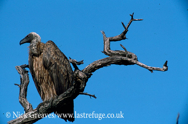 Whitebacked Vulture, Gyps africanus, Hwange National Park, Zimbabwe