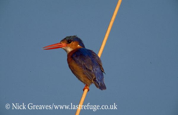 Malachite Kingfisher, Alcedo cristata, Moremi Game Reserve National Park, Botswana