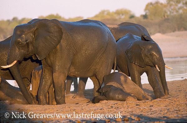 African Elephant (Loxodonta africana), calves dusting in herd, Hwange National Park, Zimbabwe