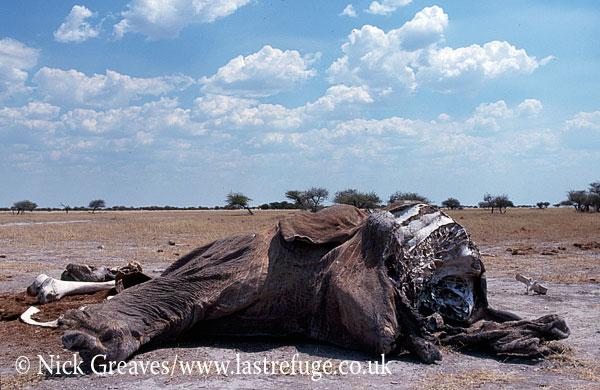 African Elephant (Loxodonta africana), carcass, Nxai Pan National Park, Botswana