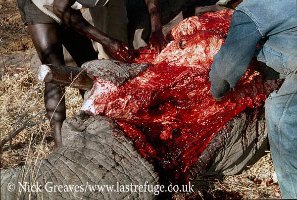 African Elephant (Loxodonta africana), culling, chopping out tusks, Hwange National Park, Zimbabwe, killing