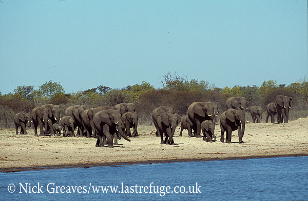African Elephant (Loxodonta africana), herd arriving at Pan, Hwange National Park, Zimbabwe