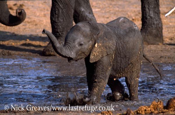 African Elephant (Loxodonta africana), calf in water at Water Pan, Hwange National Park, Zimbabwe, waterhole
