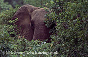 African Elephant (Loxodonta africana), Bull in Baphia Shrub, close up head, Zambezi National Park, Zimbabwe, close-up