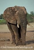 African Elephant (Loxodonta africana), mature Bull, Hwange National Park, Zimbabwe