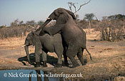 African Elephant (Loxodonta africana), Bull and Cow Mating, Hwange National Park, Zimbabwe, elephants mounting, reproduction