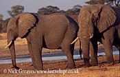 African Elephant (Loxodonta africana), mature Bulls by river, Hwange National Park, Zimbabwe