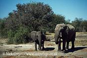 African Elephant (Loxodonta africana), Bull and Cow, Hwange National Park, Zimbabwe