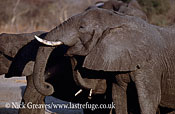 African Elephant (Loxodonta africana), Cow and calf feeding, Hwange National Park, Zimbabwe