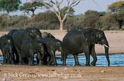 African Elephant (Loxodonta africana), heard after bathing, Hwange National Park, Zimbabwe