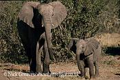 African Elephant (Loxodonta africana), cow and calf, Hwange National Park, Zimbabwe