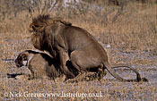 Lions mating, Panthera leo, Moremi Game Reserve National Park, Botswana