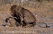 Lions mating, Panthera leo, Moremi Game Reserve National Park, Botswana