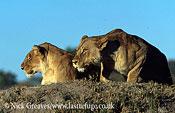 Lioness, Panthera leo, Moremi Game Reserve National Park, Botswana