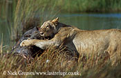 Lioness eating, Panthera leo, Moremi Game Reserve National Park, Botswana