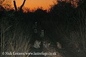 Lion pride at dawn, Panthera leo, Hwange National Park, Zimbabwe