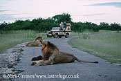 Lions on road, Panthera leo, Hwange National Park, Zimbabwe
