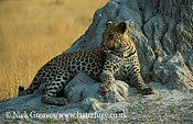 Leopard female resting on termite mound, Panthera pardus, Moremi Game Reserve National Park, Botswana
