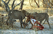 Cheetahs with Impala kill, Acinonyx jubatus, Moremi Game Reserve National Park, Botswana