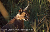 Caracal, Felis caracal, Moremi Game Reserve National Park, Botswana