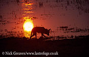 Cape hunting dog at sunset, Lycaon pictus, Moremi Game Reserve National Park, Botswana