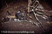 Cape Hunting Dog killed in snare, Lycaon pictus, Victoria Falls, Zimbabwe