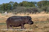Hippopotamus, Hippopotamus amphibius, Moremi Game Reserve National Park, Botswana