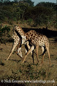 Male Giraffes necking or sparing, Giraffa camelopardalis, Hwange National Park, Zimbabwe