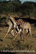 Male Giraffes necking or sparing, Giraffa camelopardalis, Hwange National Park, Zimbabwe