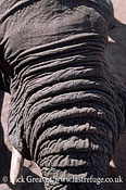 African Elephant (Loxodonta africana), close up trunk, Hwange National Park, Zimbabwe