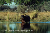 Male bull Hippo, Hippopotamus amphibius, Moremi Game Reserve National Park, Botswana