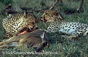 Cheetah with kill, Acinonyx jubatus, Moremi Game Reserve National Park, Botswana