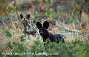 Cape hunting dog pups, Lycaon pictus, Moremi Game Reserve National Park, Botswana