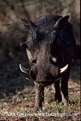 Male Warthog, Phacochoerus africanus, Chobe National Park, Botswana