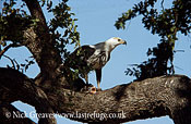 Fish Eagle with prey, Haliaeetus vocifer, Kruger National Park, South Africa