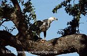 Fish Eagle with prey, Haliaeetus vocifer, Kruger National Park, South Africa