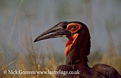 Ground Hornbill portrait, Bucorvus leadbeateri, Savuti camp, Chobe National Park, Botswana