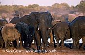 African Elephant (Loxodonta africana), herd at waterhole, Moremi Game Reserve, Okavango Delta, Botswana.