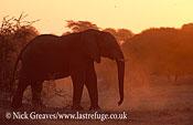 African Elephant (Loxodonta africana),silhouette, Central Kalahri National Park, Botswana